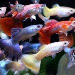 К чему иногда снятся аквариумные рыбки