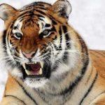 Тотемное животное Тигр – его основная характеристика и значение в жизни человека.