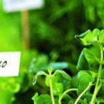 Фитонцидные растения для защиты сада от вредителей