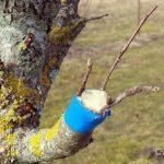 Прививаем деревья. Для чего это нужно делать? Как привить дерево своими руками?
